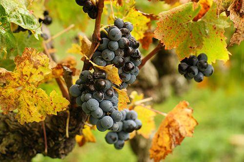 The Merlot Grape